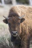 Молодой бизон есть траву, портрет Стоковые Изображения