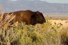 Молодой бизон на острове антилопы Стоковая Фотография