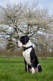 Молодой большого Mastiff датчанина или немца Стоковые Фотографии RF