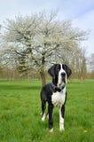 Молодой большого Mastiff датчанина или немца Стоковая Фотография RF