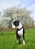 Молодой большого Mastiff датчанина или немца Стоковые Фото