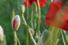 Молодой бутон мака на зеленой траве и красном цвете отпочковывается предпосылка Стоковые Изображения