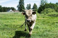 Молодой бык на луге стоковая фотография