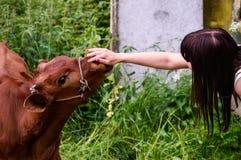 Молодой бык Стоковые Изображения RF