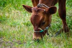 Молодой бык Стоковые Фотографии RF
