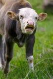 Молодой бык mooing Стоковая Фотография