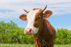 молодой бык outdoors Стоковая Фотография