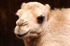 Молодой верблюд Стоковые Изображения