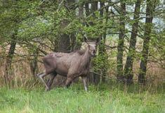 Молодой взрослый лось в лесе Стоковая Фотография