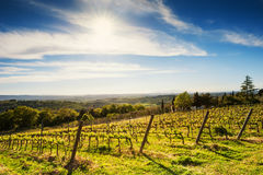 Молодой виноградник весной Стоковые Изображения