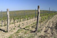 Молодой виноградник Стоковая Фотография RF