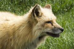 Молодой волк стоковая фотография rf