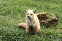 Молодой волк стоковые изображения rf