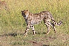 Молодой гепард на masai mara Стоковые Изображения