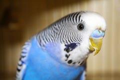 Молодой голубой портрет волнистого попугайчика Стоковая Фотография RF