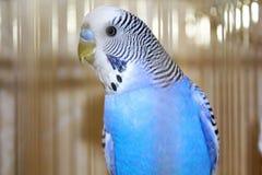 Молодой голубой портрет волнистого попугайчика Стоковое фото RF