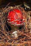 Молодой гриб пластинчатого гриба мухы Стоковое Изображение