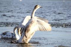 Молодой лебедь Стоковые Изображения