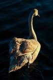 Молодой лебедь Стоковая Фотография