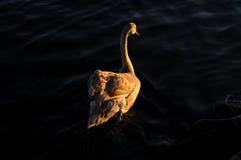 Молодой лебедь Стоковые Фотографии RF
