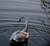 Молодой лебедь Стоковое Фото
