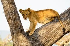 Молодой лев в дереве Стоковое фото RF