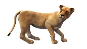 Молодой лев, дикое животное на белой предпосылке Стоковое Фото