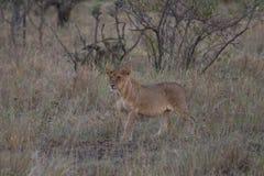 Молодой лев на охоте стоковое фото rf
