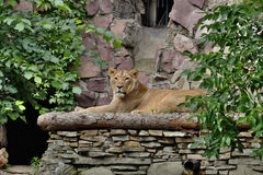 Молодой лев на платформе Стоковое фото RF