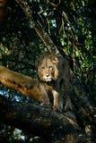 Молодой лев стоя на ветви дерева и наблюдая для добычи в африканской саванне Стоковые Фотографии RF