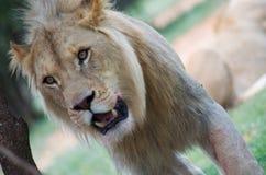 Молодой лев стоковое изображение