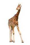 Молодой жираф Стоковое Фото