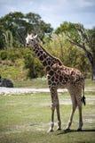 Молодой жираф Стоковая Фотография