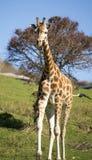 Молодой жираф Стоковая Фотография RF