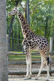 Молодой жираф Baringo Стоковая Фотография RF