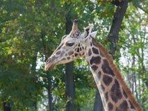 Молодой жираф Baringo Стоковое Фото