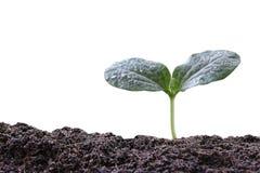молодой завод или зеленый саженец на почве изолированной на белом backgrou Стоковые Изображения RF