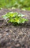Молодой завод картошки Стоковые Фото