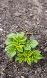 Молодой завод картошки Стоковое Изображение RF