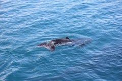 Молодой залив 6 Hervey горбатого кита Стоковые Фото