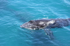 Молодой залив 3 Hervey горбатого кита Стоковое Изображение