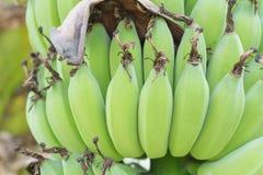Молодой зеленый банан. Стоковая Фотография RF