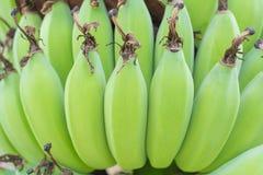 Молодой зеленый банан. Стоковое Изображение