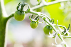 Молодой зеленый завод томата вишни стоковое изображение rf