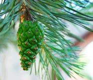 Молодой зеленый конус сосны Стоковое фото RF