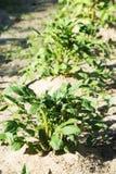 Молодой зеленый куст картошки Стоковое Изображение RF