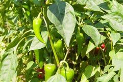 Молодой зеленый перец растя на ветви в саде в ярком крупном плане солнца Стоковая Фотография