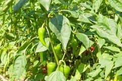 Молодой зеленый перец растя на ветви в саде в ярком крупном плане солнца Стоковое Фото
