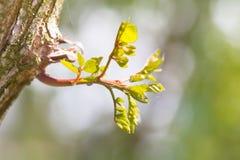 Молодой зеленый росток акации на стволе дерева Стоковое Изображение RF