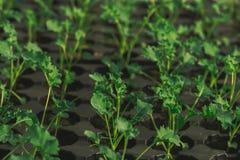 Молодой зеленый росток в земле в коробках Стоковое Фото